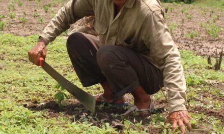 Comienza reactivación económica en el campo cundinamarqués