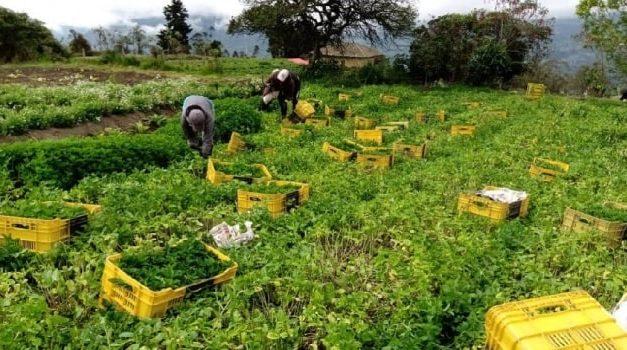 Grave crisis para los cultivos de hierbas en Chipaque