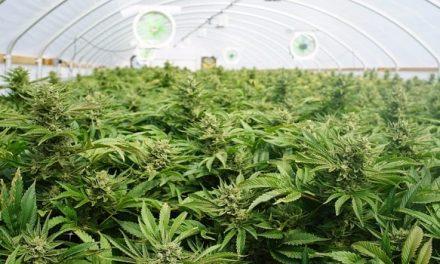 Nuevo proyecto de ley podría regular el consumo de marihuana
