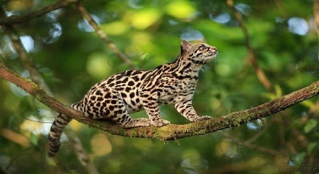 Investigan asesinato de tigrillo en Cundinamarca