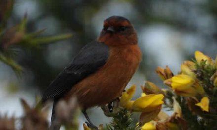 Dos especies de aves migratorias visitan Bogotá