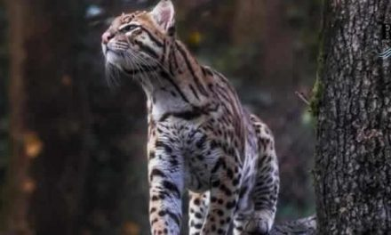 Ambientalistas, ciudadanos y artistas piden salvar al Tigrillo de Tabio