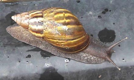 La CAR alerta por presencia de caracol africano en varios municipios de Cundinamarca