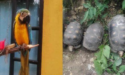Rescatan tortugas, loros y una babilla en  Ubaté