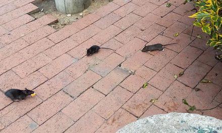 Las ratas acechan la Alcaldía de Soacha