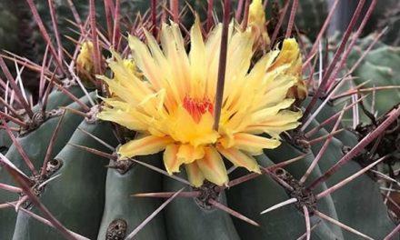 S.O.S. por el cactus endémico de Soacha