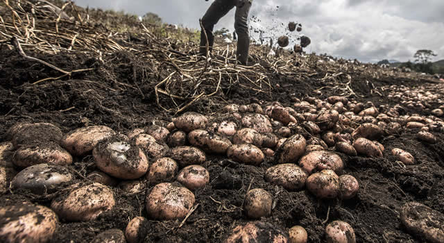 Campesinos de Soacha listos para la 'Papatón'