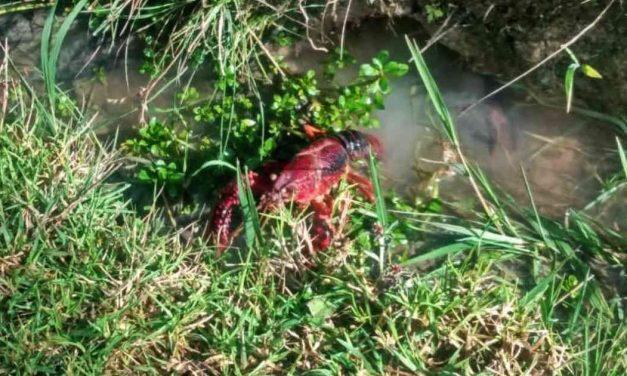 Alerta ambiental por presencia de cangrejo rojo en Bogotá y alrededores