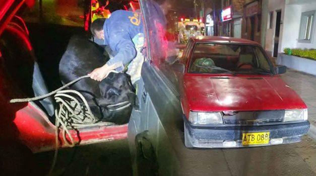 Policía Cundinamarca encuentra vaca robada dentro de un Renault 9