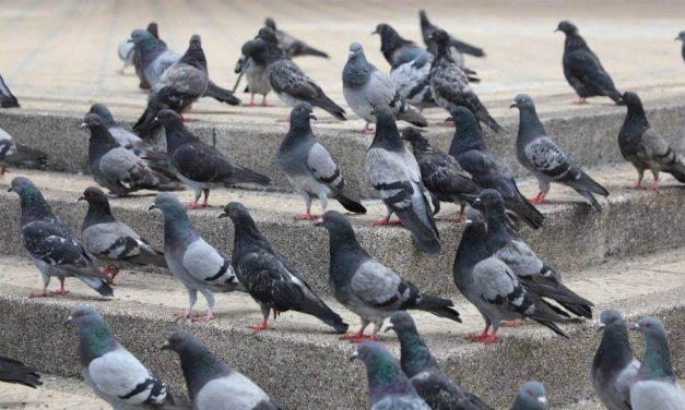 En Bogotá se proyecta programa de esterilización de palomas