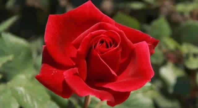 Acierte al regalar flores, conozca su significado