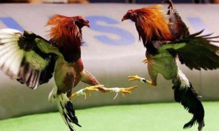 Fin a las prácticas de maltrato en las peleas de gallos en Bogotá